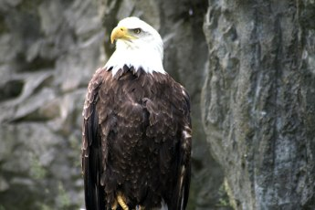 The American Bald Eagle From Behind the Pen