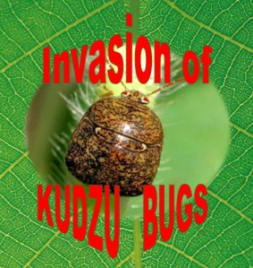 Kudzu, kudzu bugs, bean plataspid, megacopta cribraria,stinky bug, square brown beetle looking bug