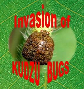 Kudzu, kudzu bugs, bean plataspid, megacopta cribraria,stinky bug, square brown beetle looking bug