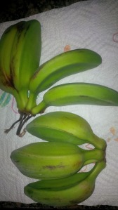 bananas, double bananas, fertility, from behind the pen